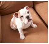 Dog hairs on Sofa